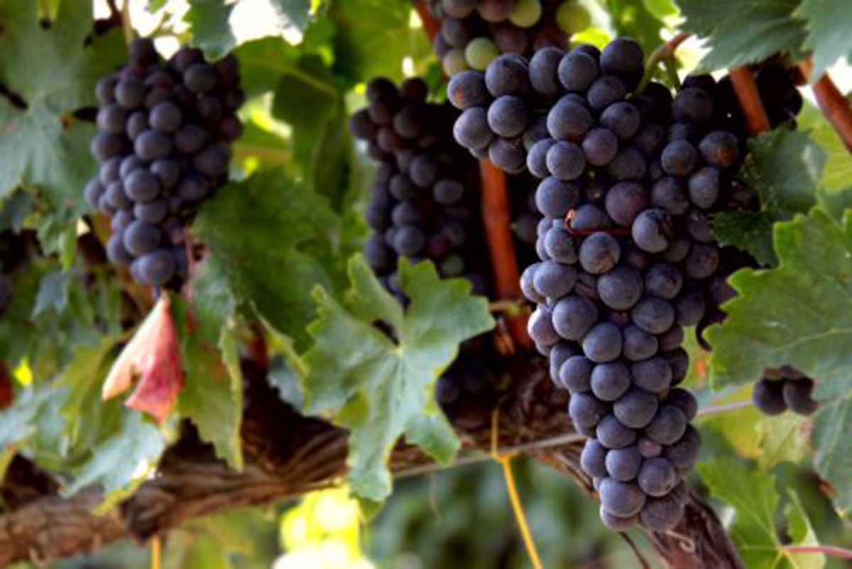 L'uva del Tintilia