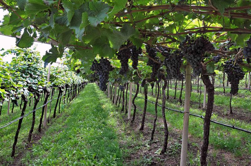 Coldiretti molise nuove norme per i vini dop e igp 39 a for Subito it molise attrezzature agricole